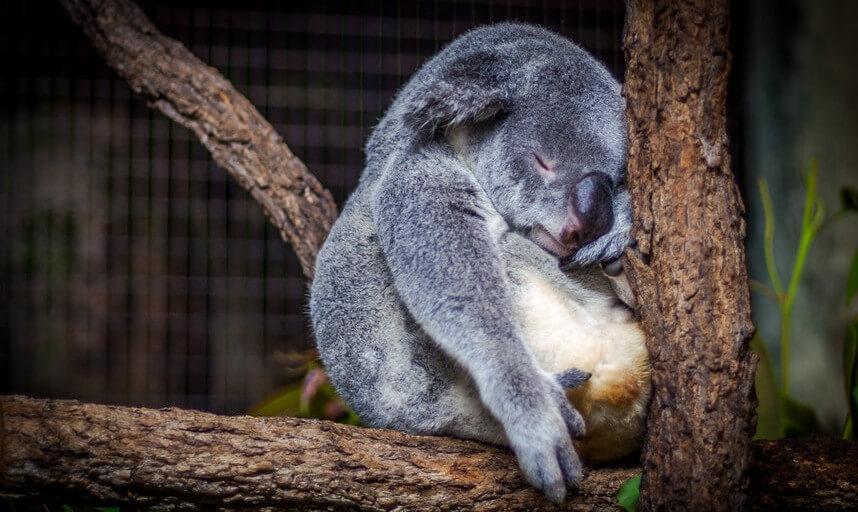 Die Uhr tickt und die Datenschutz-Grundverordnung (DSGVO) steht bald vor der Tür. Es ist Zeit für Unternehmen, wie für diesen Koala, aufzuwachen.